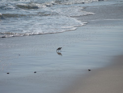 a shorebird at the edge of the ocean