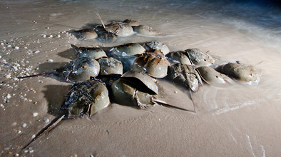 Horseshoe crabs mating on the beach