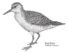 A drawing of a standing red knot