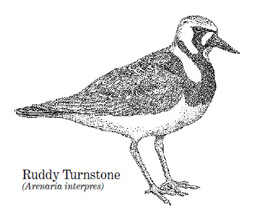 A ruddy turnstone drawing
