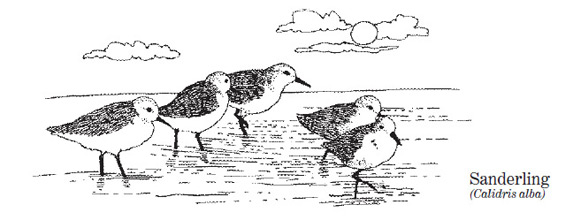 a drawing of sanderlings on the beach at the water's edge